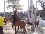 Tradisi Adu Kuda Pada Perayaan PestaTahunan